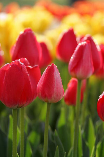 Nagoya adds tulips to the spring bouquet