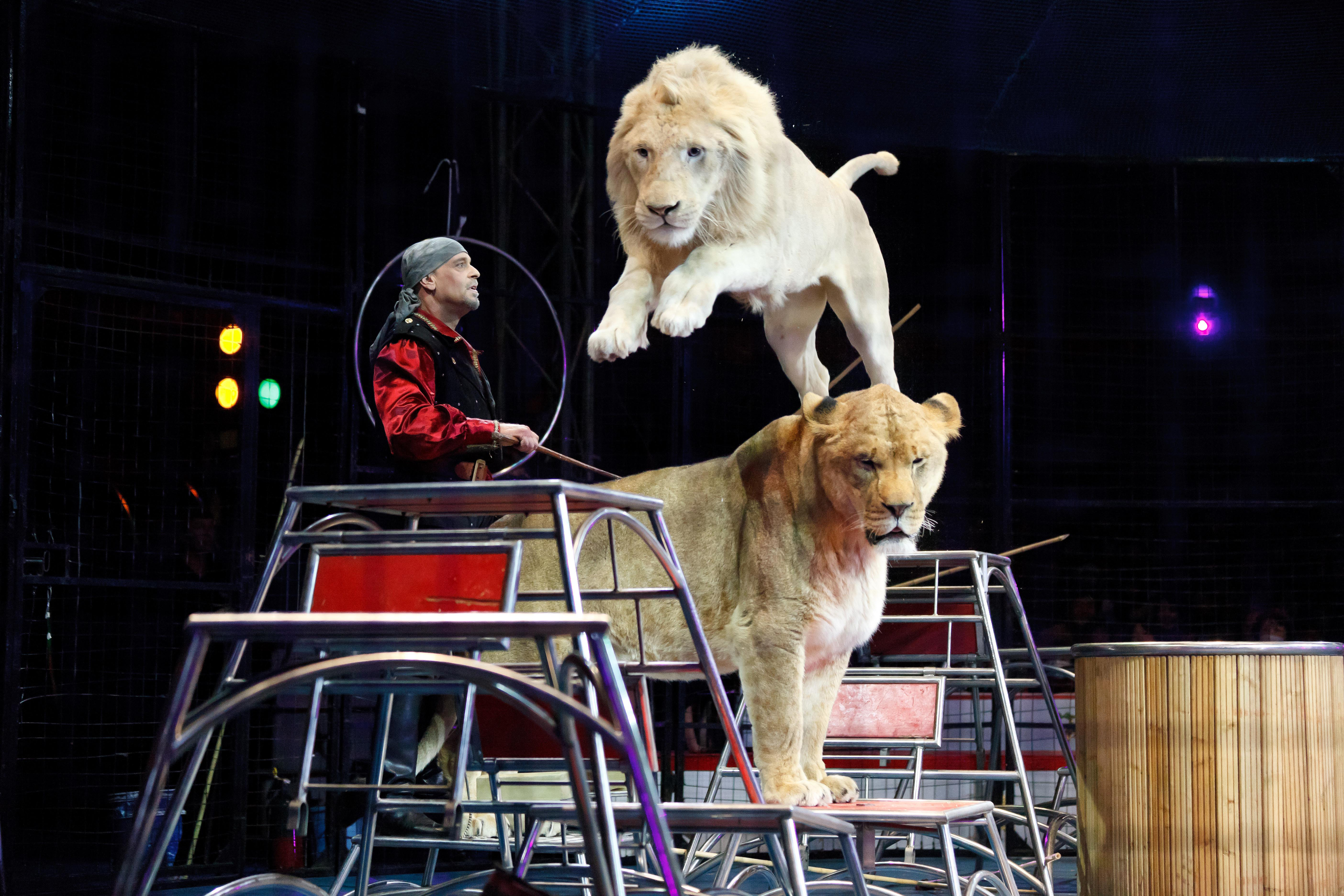 Big top beasts: A lion performance is just one of the many events at Kinoshita Circus, which is in its 109th year. | KINOSHITA CIRCUS