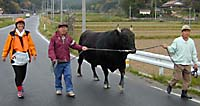 Etsuko walks with farmers leading their bull back from a bullfight meet on Oki Island, Shimane Prefecture.