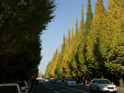 Golden voyage: A line of golden ginkgo trees lines Icho Namiki (Gingko Avenue) near the Meiji Jingu Outer Gardens. | CHRISTOPHER JOHNSON PHOTO