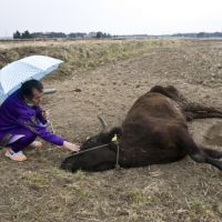No way back: Resident Yuji Watanabe strokes a cow dying of thirst in Namie district on March 30 and gazes at others left to roam. | ROB GILHOOLY PHOTO