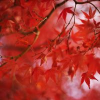 Local color: momiji (Japanese maple) in its fall glory on Mount Takao. | SKYE HOHMANN PHOTOS