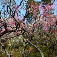 Flower power: Plum blossoms, so moving in their beauty, at Ikegami Baien Garden. | KIT NAGAMURA PHOTOS