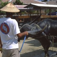 No rush: A buffalo is cooled down before hauling another tourist omnibus (seen behind); while bougainvillea graces a home's coral wall.
