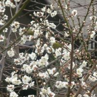 Away from it all: Japanese white-eyes amid plum blossom in Todoroki Valley Bird Sanctuary in Tokyo; a bridge over its  Yazawa River; a valley trail; the valley's ancient tomb; and a Jungle crow keeps a beady-eyed lookout from its pine-tree perch. hillel wright