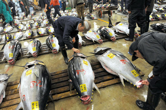 Best served chilled: Wholesale buyers check out tuna at Tokyo's Tsukiji fish market in April. | SATOKO KAWASAKI PHOTO
