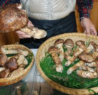 Status symbols: A farmer in Nagano Prefecture, the biggest producer of 'matsutake' mushrooms, shows off his harvest in Ueda on Oct. 19. | KYODO PHOTO
