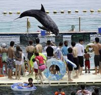Leap of faith: Shiro, a Risso's dolphin, leaps in a small penned-off ocean cove last August in Taiji, Wakayama Prefecture, where visitors can play with the animals. | AP PHOTO