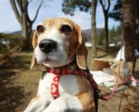 A dog's life: Luna, a beagle, is tied to a tree near her makeshift house at an evacuee center in Fukushima on Thursday. | AP PHOTO