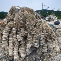 Rising from the rubble: Oyster shells lie near the hull of a shattered fishing boat after being hauled out at Koamikura beach in Ishinomaki, Miyagi Prefecture, on May 30. | ROB GILHOOLY PHOTOS