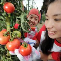 Vine-ripened: Volunteers harvest tomatoes in Iwanuma, Miyagi Prefecture, on Aug. 20. | KYODO