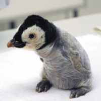 Welcome to our world: A recently hatched emperor penguin is seen at Wakayama Adventure World in Shirahama, Wakayama Prefecture, last Thursday. | KYODO