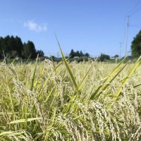 Grain strains: Rice waits for harvest in Nihonmatsu, Fukushima Prefecture, on Oct. 12. | KYODO PHOTO