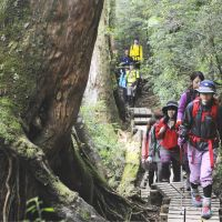 Hikers walk on wooden steps leading to the Jomon Sugi cedar tree on Yakushima Island in Kagoshima Prefecture. | KYODO PHOTOS