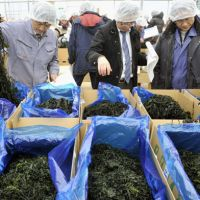 Back in business: People in Kesennuma, Miyagi Prefecture, check the quality of seaweed harvested on the Sanriku coast on Tuesday. It is the first time the product has been marketed since the earthquake and tsunami last March. | KYODO