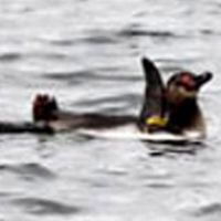 Humboldt bolts: A penguin that fled Tokyo Sea Life Park swims Sunday at the mouth of the Old Edogawa River. | TOKYO SEA LIFE PARK / KYODO