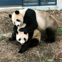 Playful: Male panda Ri Ri (top) and female Shin Shin share some time together at Ueno Zoo in Tokyo on Sunday. | UENO ZOO/KYODO