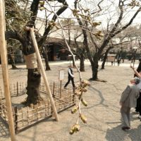 Measuring stick: Visitors gauge the buds on the benchmark 'someiyoshino' cherry tree at Yasukuni Shrine on Wednesday. The tree is designated by the government as the official reference point for Tokyo's cherry blossom season. | YOSHIAKI MIURA