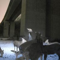 De-icing agent in deer debate