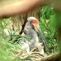 First family: A crested ibis chick is seen in its nest with a parent on Sado Island, Niigata Prefecture, on Sunday. | KYODO