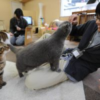 Paws to refresh: Customers play with cats living, and entertaining, the clientele at one of Tokyo's 'neko cafes' on Feb. 23. | AFP-JIJI