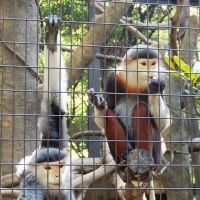 Honeymoon: Red-shanked douc langur, an endangered species, are seen Monday in a cage at Zoorasia, Yokohama's municipal zoo. The arrival of the female (right) has spurred hopes they may start breeding. | KYODO