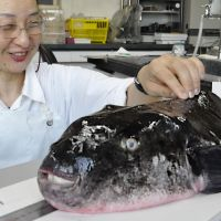 Puffed with pride: A Yamaguchi fisheries researcher measures a tiger fugu Wednesday that was caught Monday. | KYODO