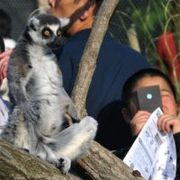 A child watches the eclipse next to a ring-tailed lemur at the Japan Monkey Center in Inuyama, Aichi Prefecture. | KYODO