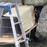 Not buying it: A 'tanuki' raccoon dog holed up in the stone wall of the Imperial Palace moat avoids a trap set Thursday. | KYODO