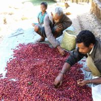 Rich pickings: East Timorese farmers sort coffee beans in 2009. Japanese NPOs started importing coffee to assist the country's economy after its independence in 2002. | KYODO/PEACE WINDS JAPAN