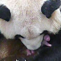 It's a girl!: Giant panda Rauhin takes care of a newborn cub Saturday at Adventure World in Shirahama, Wakayama Prefecture. | KYODO