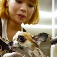 Shampooch: A dog gets shampooed at a pet salon in the city of Osaka. | KYODO