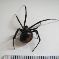 Keep clear: This poisonous red-back spider was found Monday in Kawasaki. | CITY OF KAWASAKI