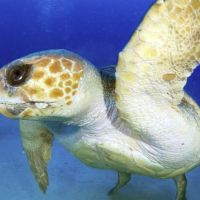 On the rebound: An endangered loggerhead turtle is seen swimming off Amami Oshima island in Kagoshima Prefecture in June. | SEA TURTLE ASSOCIATION OF JAPAN/KYODO