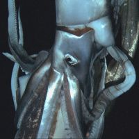 Monster calamari: A video image taken by NHK and the Discovery Channel in July and released Monday shows a giant squid near the Ogasawara Islands, 1,000 km south of Tokyo. | AFP-JIJI