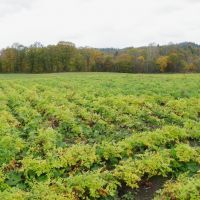 Good for what ails you: Cnidium officinale (above) grows on a Hokkaido farm in December. | KYODO
