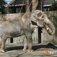 Inokashira zoo celebrates birthday of oldest elephant