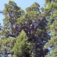Forest giant:  The President, a giant sequoia in California's Sequoia National Park, is estimated to be 3,240 years old and is still growing. | AP