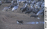 A semiferal cat in Kyushu stalks cranes.