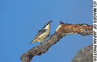 Among their many wondrous adaptations, avians' beaks have each evolved to serve the species' habitat niche, whether the hatchet-like one of the Eurasian nuthatch (above), or the pointed one of the marsh tit (below).