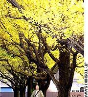 Ginkgo trees displaying their bright-yellow autumn foliage in Tokyo's Jingu-Gaien Park.