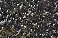 Common murres on Tyuleni off Sakhalin (top) show how Teuri Island may have looked. Similarly, once-common spectacled guillemots (above) are now down to 100 pairs in Tohoku and Hokkaido.