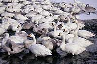 Hundreds of Bewick's swans overwinter at Sagata.