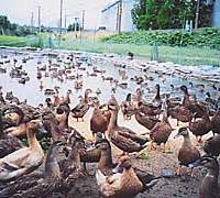 The Niigata sake brewery's 230 ducks await their fate last mont.