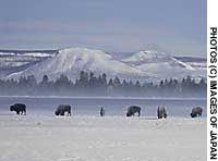 Bison foraging in the magnificent winter setting of Yellowstone, where wolves like this (below) now roam, too, since being reintroduced in 1995.