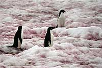 Adellle penguins (above) in 'watermelon snow' splashed red by algae on the Antarctic Peninsula. A wood in winter (below), where snow's weight often acts as a 'selective pressure' by snapping off weak or drying branches.