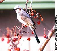 Brown-eared bulbuls pause between gulping down more of the energy-rich forest fruits of autumn -- fruits whose seedds they then disperse far and wide.
