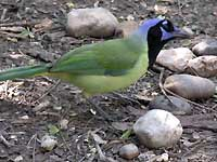 Among the fascinating flora and fauna of southern Texas are the green jay (top), tumblebugs like this one wrestling with a dollop of coyote dung (above), and glorious yuccas (below).
