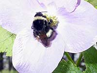 One of Japan's 24 species of bumblebees feeds on a flower's nector. | PHOTO © IMAGES OF JAPAN