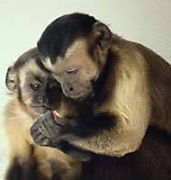 Monkey morality -- Adult and juvenile capuchin monkeys check out the quality of a piece of food. A recent survey shows that monkeys, and not just humans, seem to be aware of what constitutes fair and just behavior. | PHOTO COURTESY OF FRANS DE WAAL, EMORY UNIVERSITY